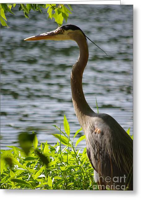 Blue Heron Sunning Greeting Card