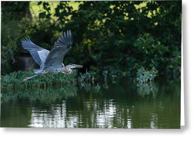 Blue Heron Take-off Greeting Card