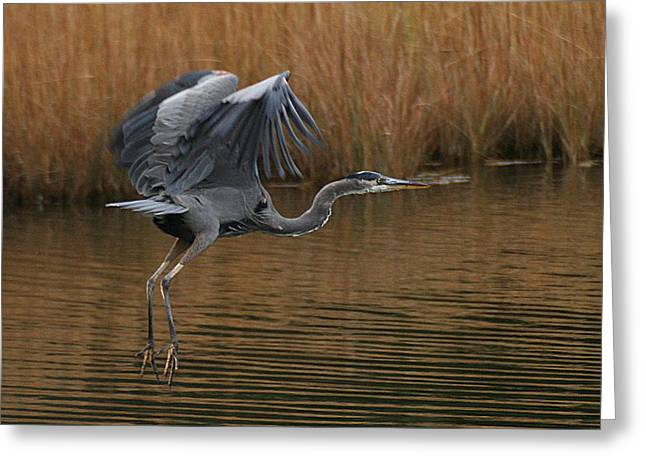 Blue Heron Takes Flight Greeting Card