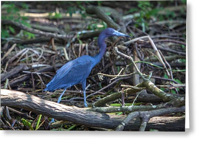 Little Blue Heron On The Banks Of An Atchafalya Bayou Greeting Card