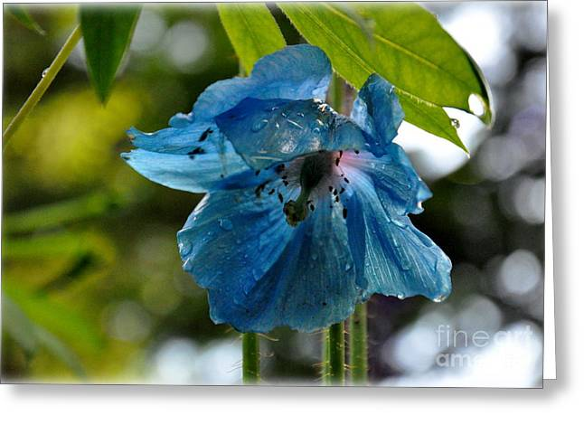 Blue Himalayan Poppy Greeting Card