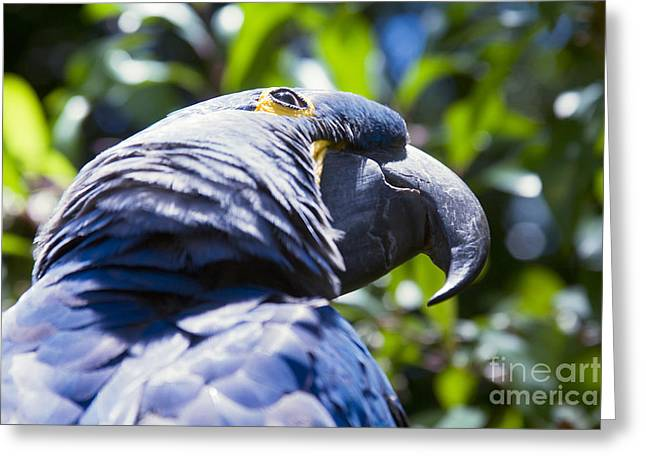 Blue Hyacinth Macaw - Anodorhynchus Hyacinthinus - Kailua Maui Hawaii  Greeting Card