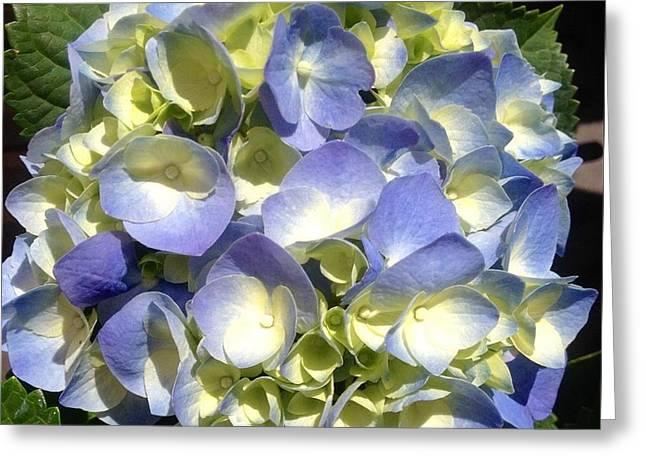 Blue Hydrangea  Greeting Card by Alohi Fujimoto