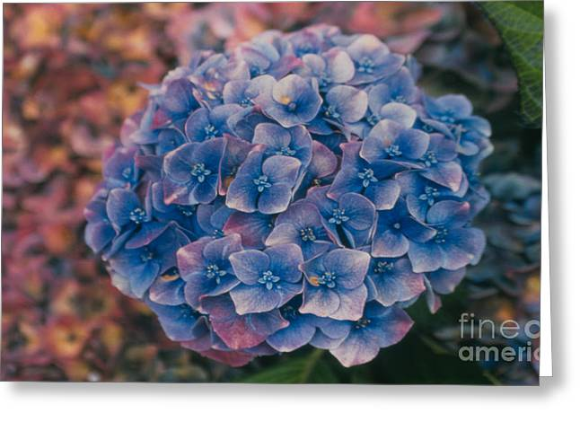 Blue Hydrangea Greeting Card by Heather Kirk