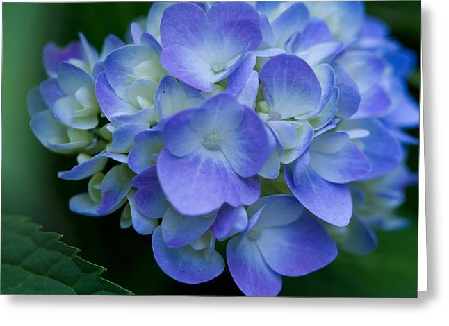 Greeting Card featuring the photograph Blue Hydrangea by John Hoey