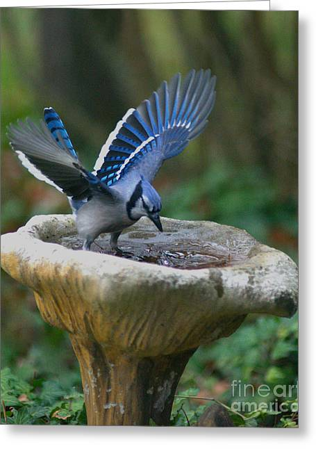 Blue Jay Bath Greeting Card by Jane Axman