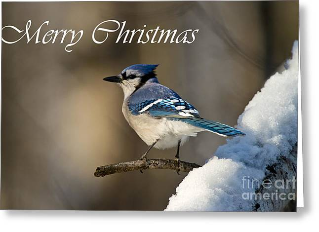 Blue Jay Christmas Card 2 Greeting Card