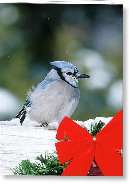 Blue Jay (cyanocitta Cristata Greeting Card by Richard and Susan Day