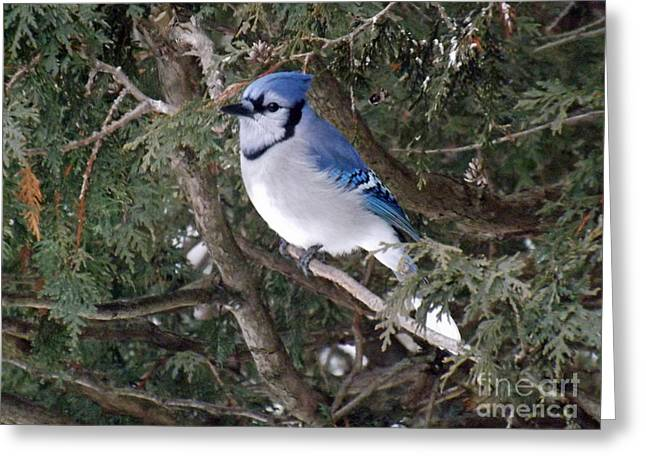 Greeting Card featuring the photograph Blue Jay In The Cedars by Brenda Brown