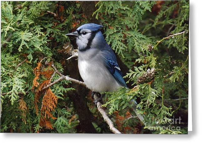 Greeting Card featuring the photograph Blue Jay In Cedar Tree 2 by Brenda Brown