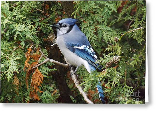 Greeting Card featuring the photograph Blue Jay In Cedar Tree by Brenda Brown