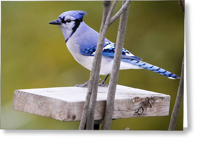 Blue Jay In Profile Greeting Card by Ricky L Jones