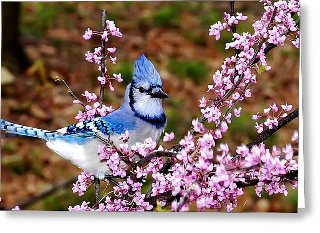 Blue Jay In The Pink Greeting Card