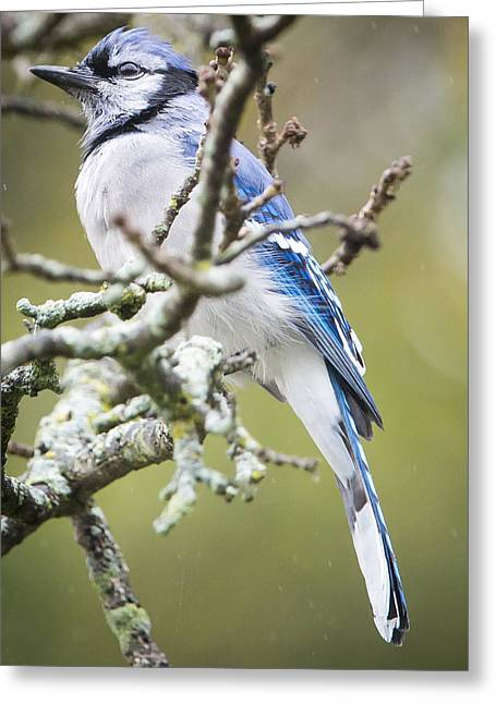 Blue Jay In The Rain Greeting Card