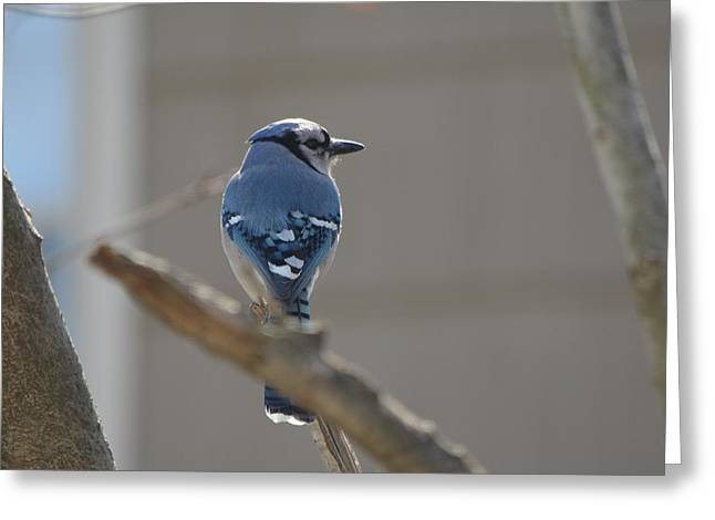 Blue Jay Greeting Card by James Petersen