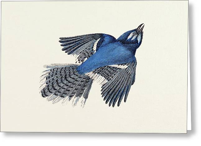 Blue Jay Nineteenth Century Engraving Greeting Card