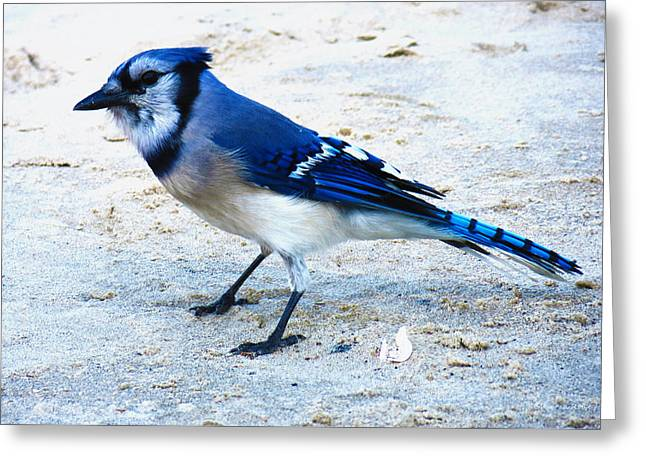Blue Jay On The Beach Greeting Card by Shawna Rowe