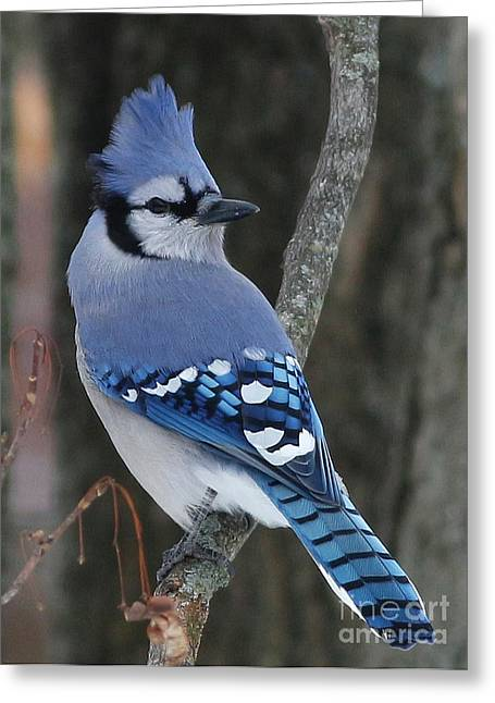 Blue Jay Winter Greeting Card