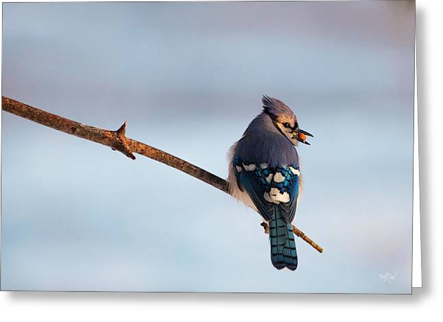 Blue Jay With Nuts Greeting Card