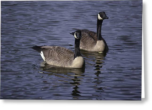 Blue Lake Geese Greeting Card