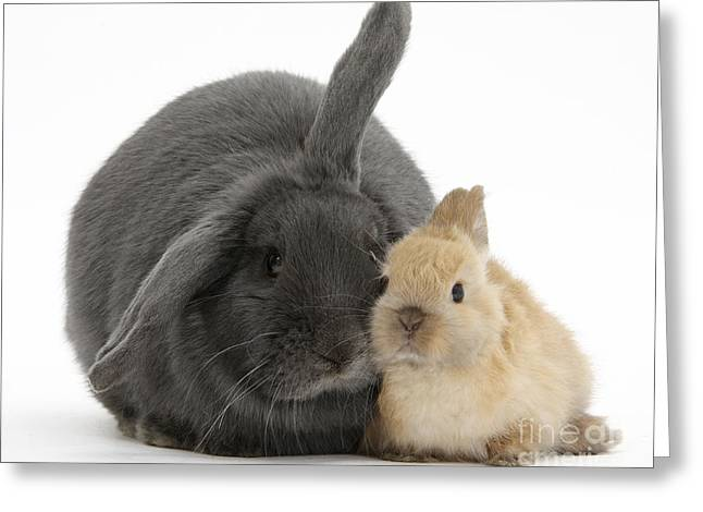 Blue Lop Rabbit And Netherland Dwarf Greeting Card by Mark Taylor