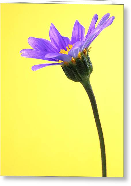 Blue Marguerite  Greeting Card by Carl Perkins