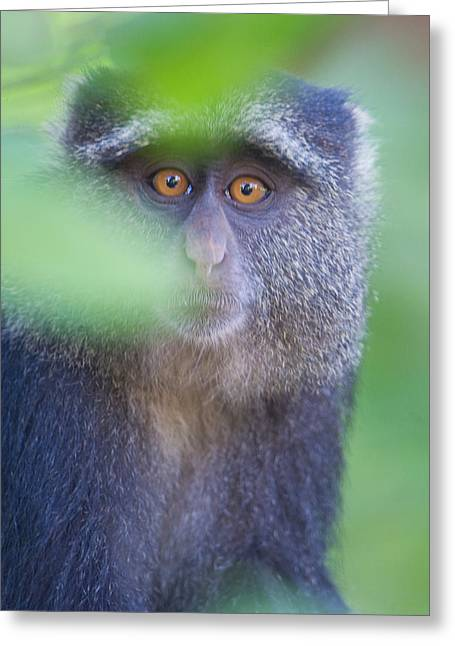 Blue Monkey Cercopithecus Mitis, Lake Greeting Card