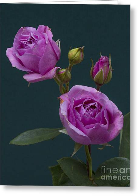 Blue Moon Roses Greeting Card by ELDavis Photography