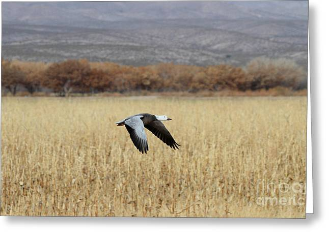 Blue Morph In Flight Greeting Card by Ruth Jolly