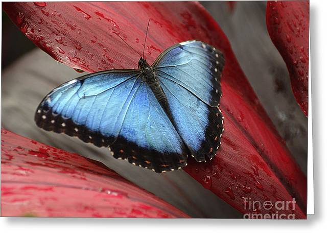 Blue Morpho 2 Greeting Card by Diane E Berry