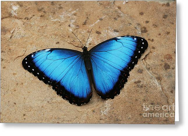 Blue Morpho #2 Greeting Card by Judy Whitton