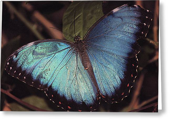 Blue Morpho Greeting Card by Bill Woodstock