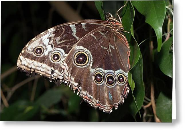 Blue Morpho Butterfly Greeting Card by Dirk Wiersma