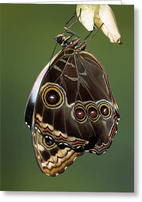 Blue Morpho Butterfly Emerging Greeting Card