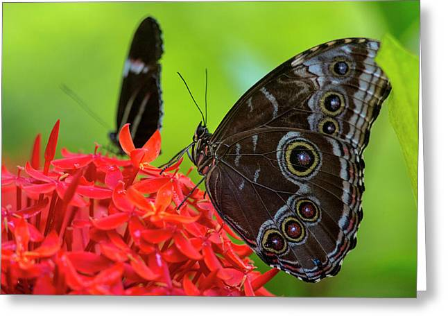 Blue Morpho Butterfly (morpho Peleides Greeting Card by Chuck Haney
