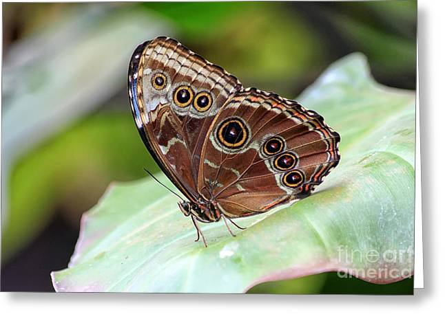 Blue Morpho Butterfly Greeting Card by Teresa Zieba