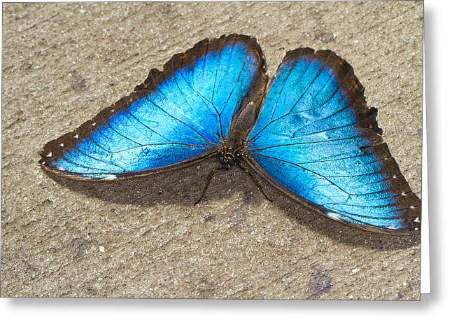 Greeting Card featuring the photograph Blue Morpho by John Hoey