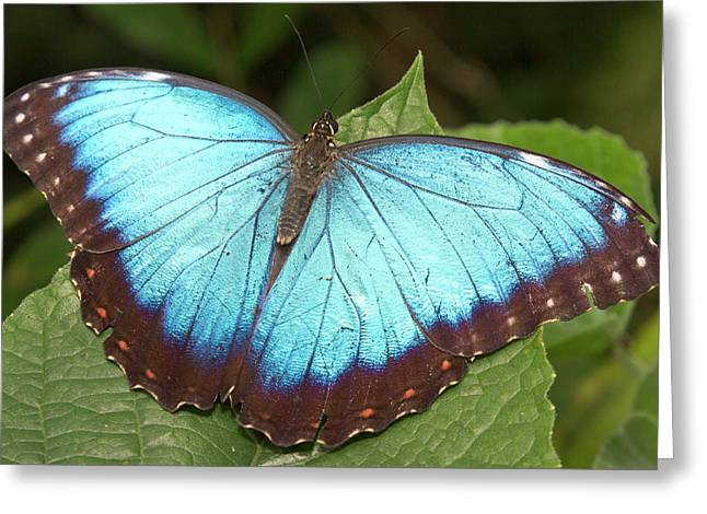 Blue Morpho (morpho Greeting Card by William Sutton