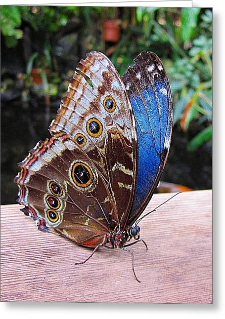 Blue Morpho Greeting Card by MTBobbins Photography