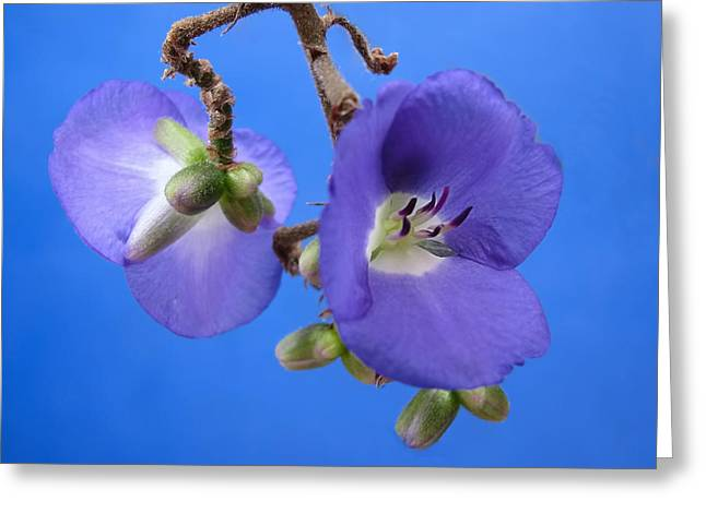 Blue Orchid Greeting Card by Rudy Umans