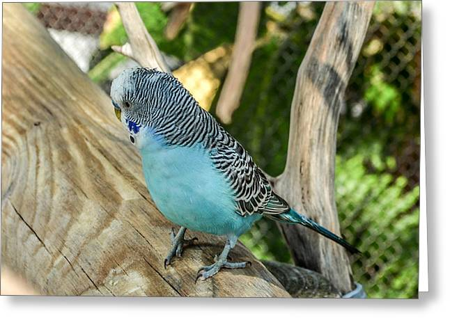 Blue Parakeet Greeting Card by Renee Barnes