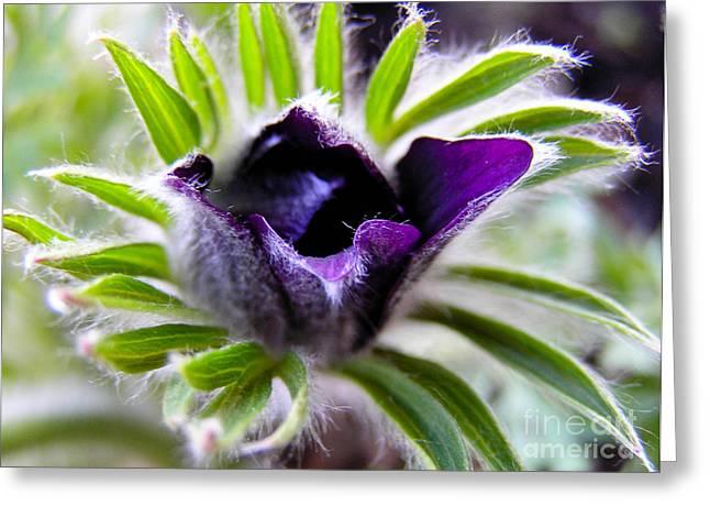Blue Pasque Flower - Closeup Greeting Card by Kerstin Ivarsson
