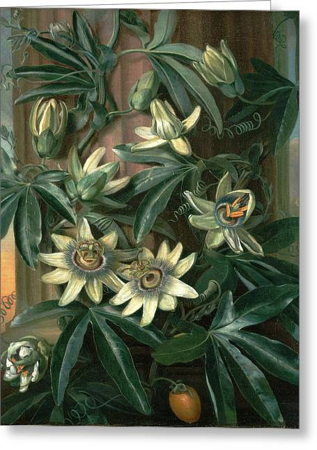 Blue Passion Flower, For The Temple Of Flora By Robert Greeting Card