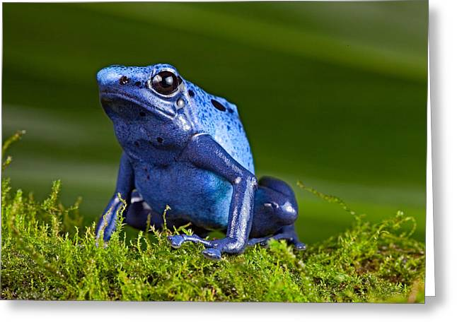 Blue Poison Frog Greeting Card by Dirk Ercken