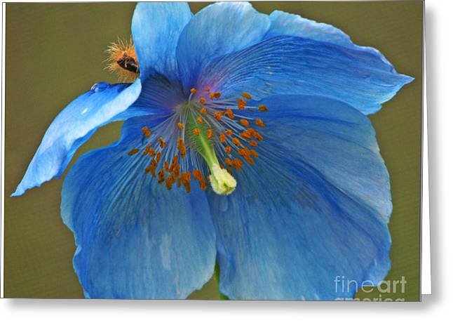 Greeting Card featuring the photograph Blue Poppy by Chris Anderson