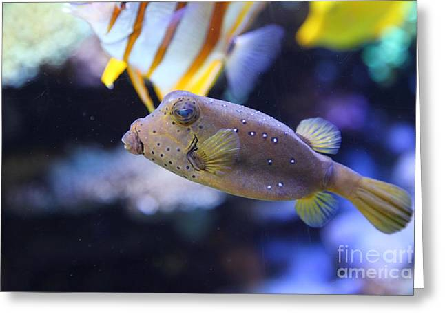 Blue Puffer Fish 5d24888 Greeting Card by Wingsdomain Art and Photography