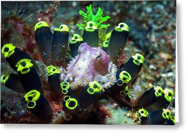 Blue-ringed Octopus On Sea Squirts Greeting Card