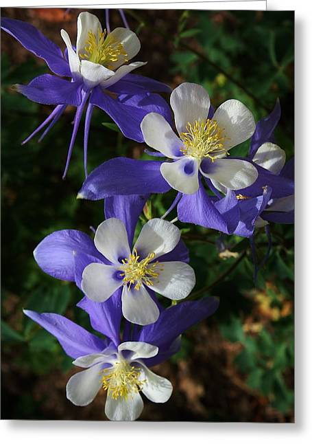 Blue Saphire Columbine Greeting Card by Bruce Bley