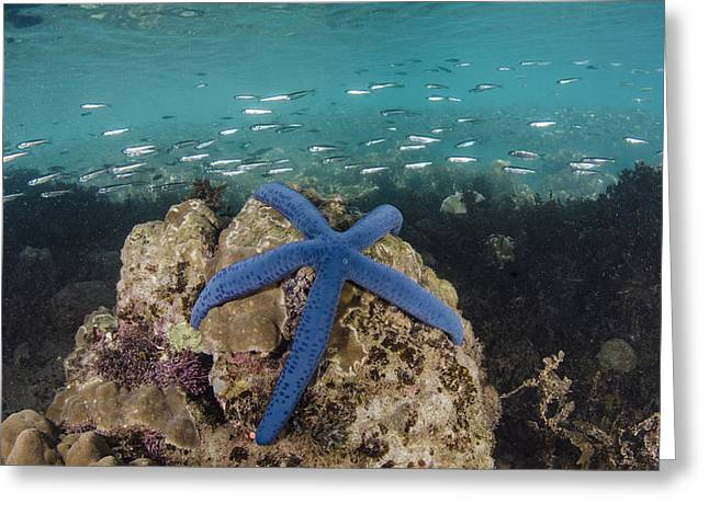 Blue Sea Star On Coral Reef Fiji Greeting Card by Pete Oxford