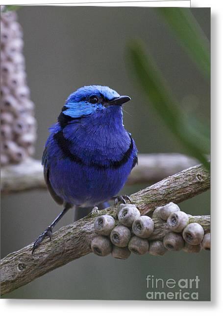 Blue Splendid Wren Greeting Card